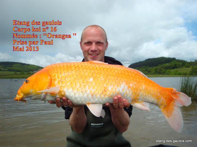 Carpe koi 2013 etang des gaulois for Carpe koi orange